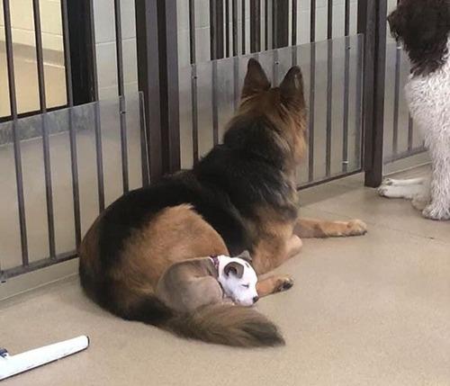 他の犬をまくらにする子犬08