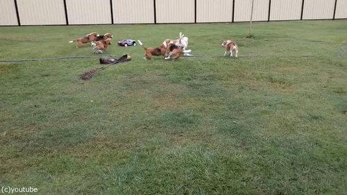 犬とラジコンカーと広い庭06