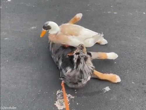 犬とアヒル04