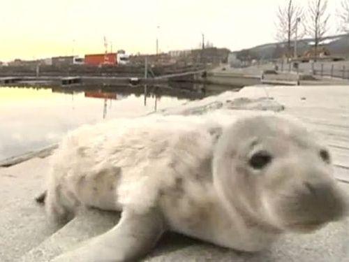 スウェーデンの港にアザラシの赤ちゃん01