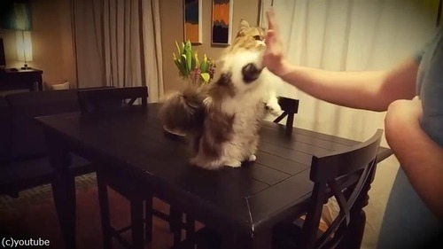 ハイタッチしてくれる猫様03