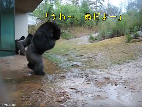 ゴリラ「いけね、傘わすれた!」00