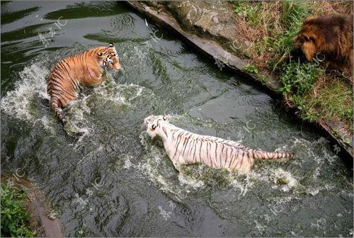虎vsホワイトタイガー02