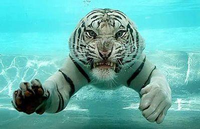 泳ぐ虎01