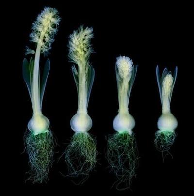 花のレントゲン01