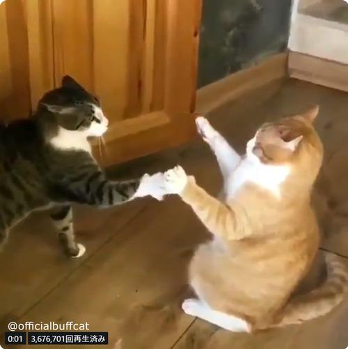 にらみあう猫…まさかのオチに笑う02