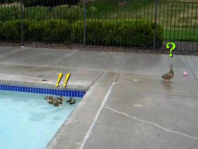 マガモのヒナたちがプールに落っこちて、さあ大変