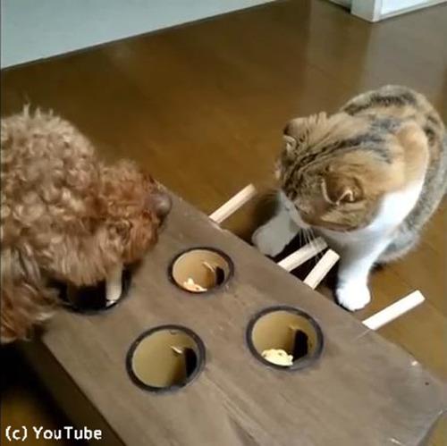 モグラたたきで遊ぶ猫04
