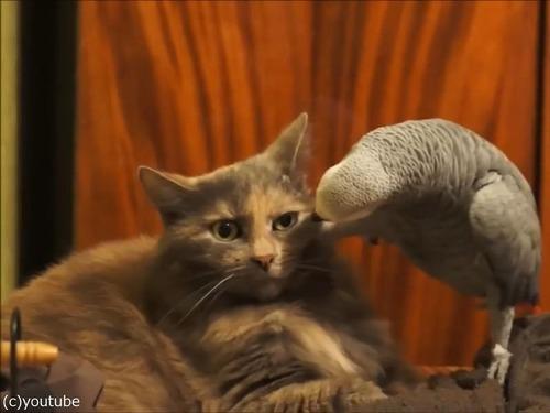 インコが猫にイタズラ02