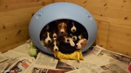 小さなベッドの中に子犬が16匹01