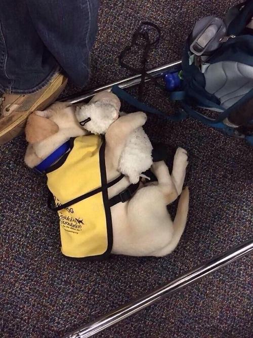 サービス犬の子犬04