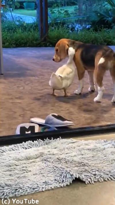 超仲良しな犬とアヒル…見てるこっちが照れる03