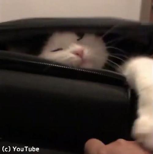 スーツケースを占拠する猫03