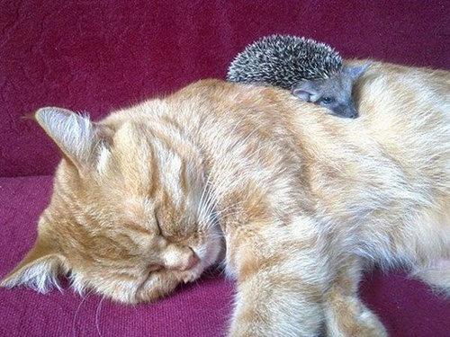猫とハリネズミの赤ちゃん07
