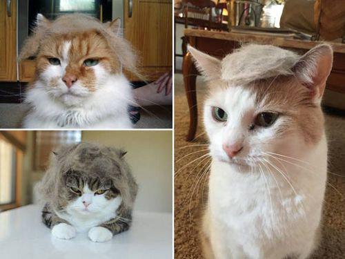 ブラッシングした猫の抜け毛をかつらに00