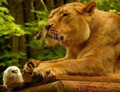ライオンとフクロウ01