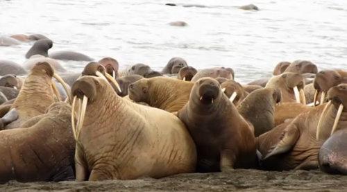 アラスカビーチに35000頭のセイウチ03