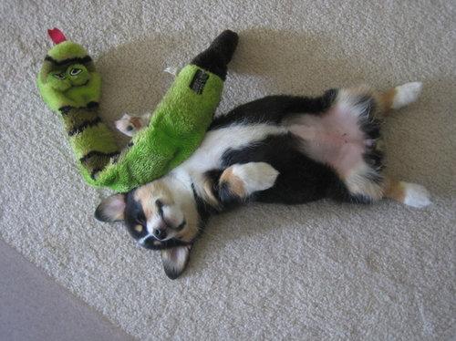 寝てるコーギー犬22