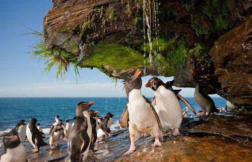 イワトビペンギン03
