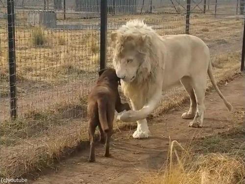 紳士なホワイトライオン04