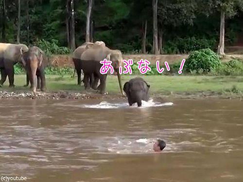川に流された人間を助ける子ゾウ00