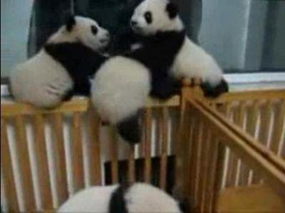 子パンダの喧嘩