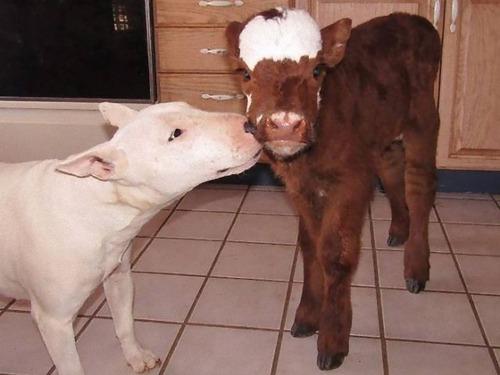 自分を犬だと思っている牛02