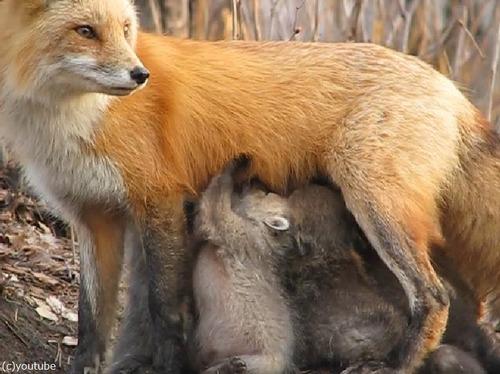 なんという母性!小熊にお乳をあげるキツネ02