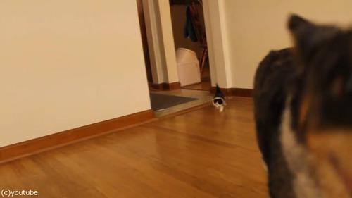 猫の赤ちゃん、義理のお母さんとなった「犬」の後を歩く05