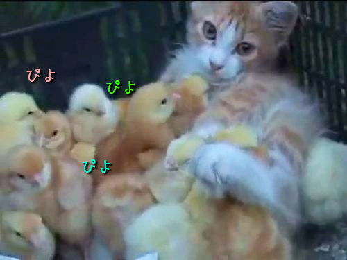 ひよこまみれの子猫