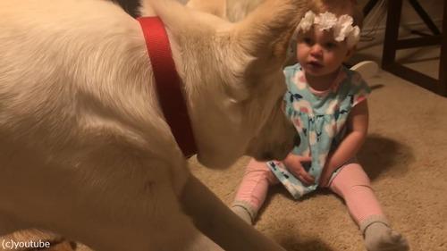 犬、赤ちゃんにキスのお返し02