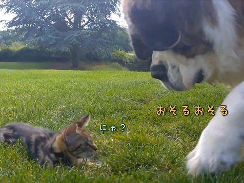 セントバーナードと子猫00