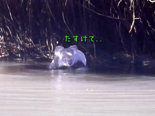 カヌーまで泳いでくるコアラ