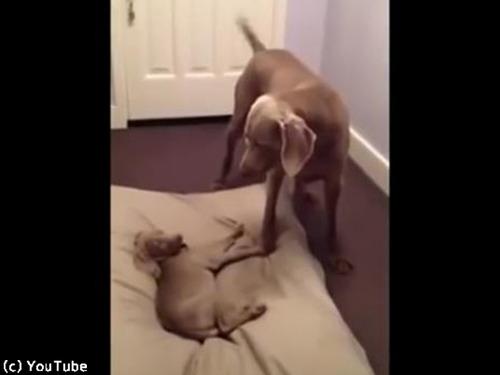 お兄ちゃんのベッドを奪う子犬00