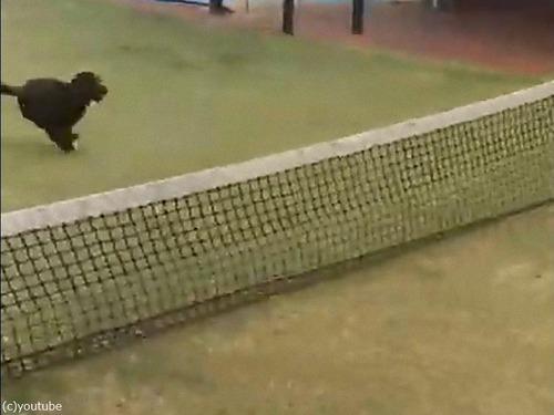 テニスのネットに引っかかった犬の宙返り00