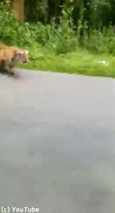 トラの全力疾走を見たことある?ヒヤッとする動画02