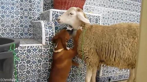 羊を愛してやまないボクサー犬の赤ちゃん01