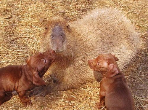 子犬を育てるカピバラ03