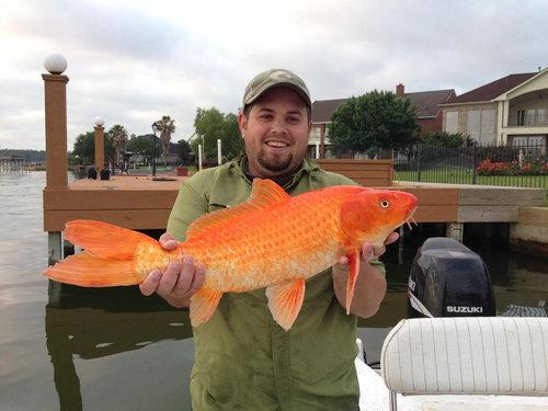 金魚が飼えなくなって人々が湖に放したその結果01