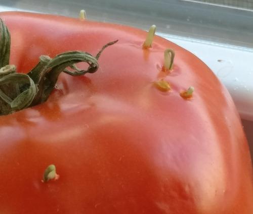 トマトの発芽01