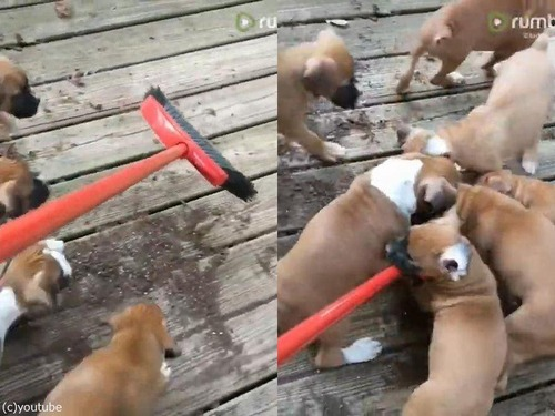 掃除と子犬たちの相性02