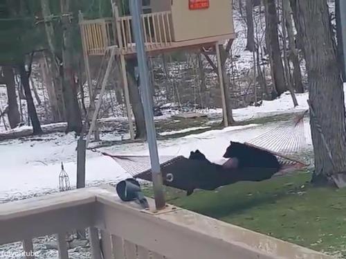 熊にハンモックは難しい03