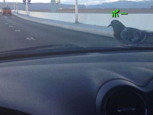 車に乗るハト