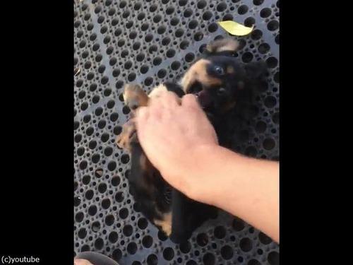 コチョコチョされるうちに眠る子犬02