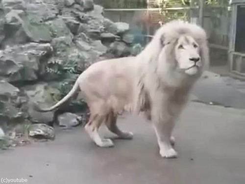 シャボン玉を見たライオンのリアクション01