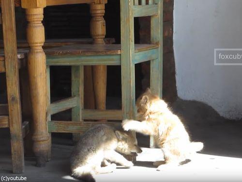 子ギツネと子猫03
