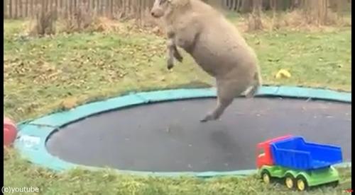 トランポリンで遊ぶ羊02