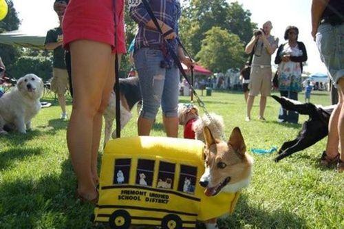 コーギー犬コスプレ25