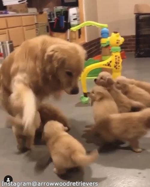 子犬たちのお世話の大変さがよくわかる動画03