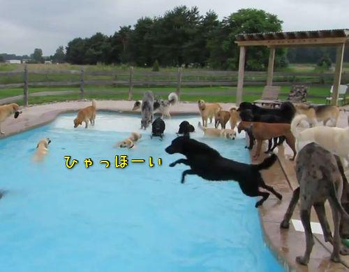 犬のプールパーティ00